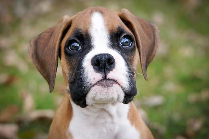 boxer puppy american kennel club