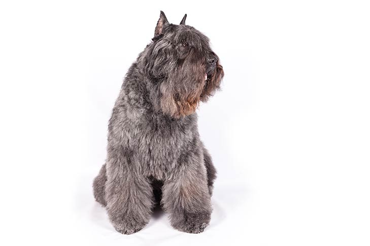 Bouvier des Flandres sitting, head turned right