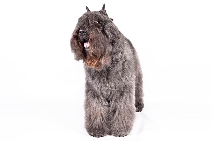 Bouvier des Flandres standing facing forward