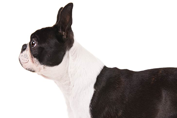 Boston Terrier head and shoulders facing left