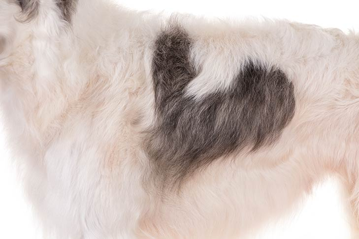 Borzoi coat detail