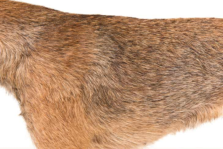 Border Terrier coat detail