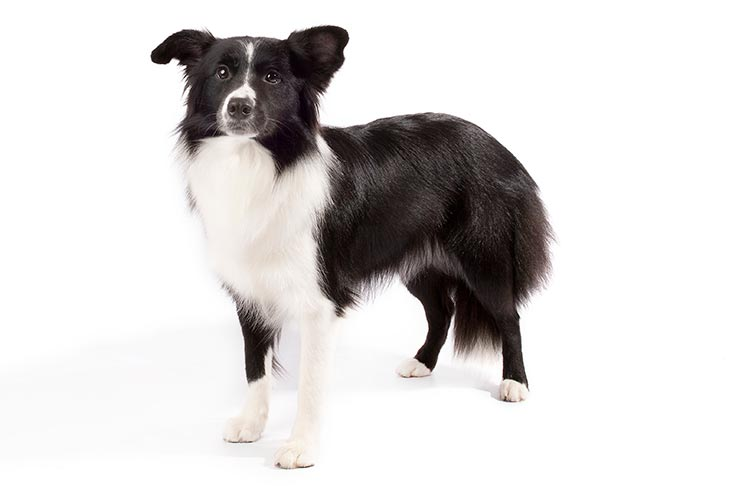 Border Collie standing in three-quarter view facing forward