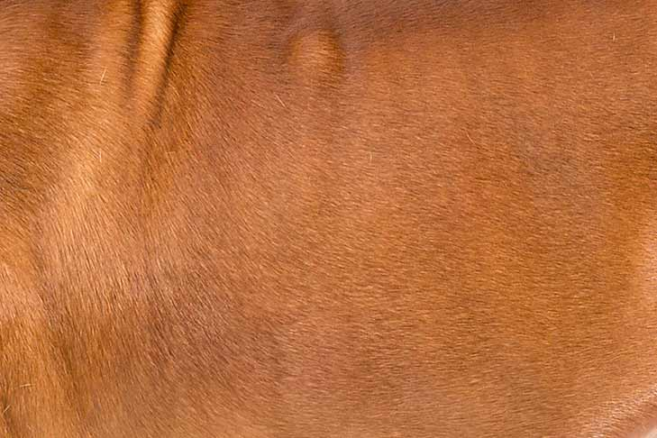 Boerboel coat detail