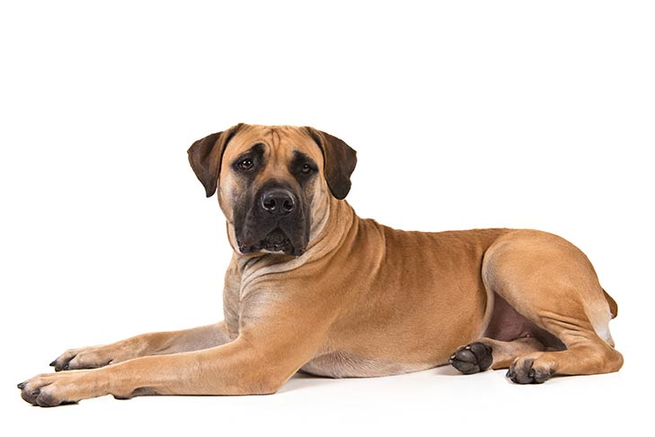 Boerboel lying sideways, head facing forward