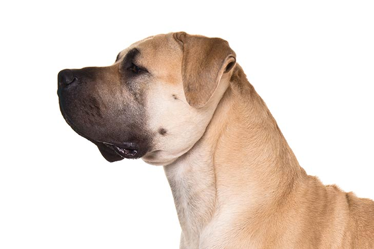 Boerboel head facing left
