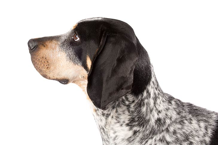 Bluetick Coonhound head facing left