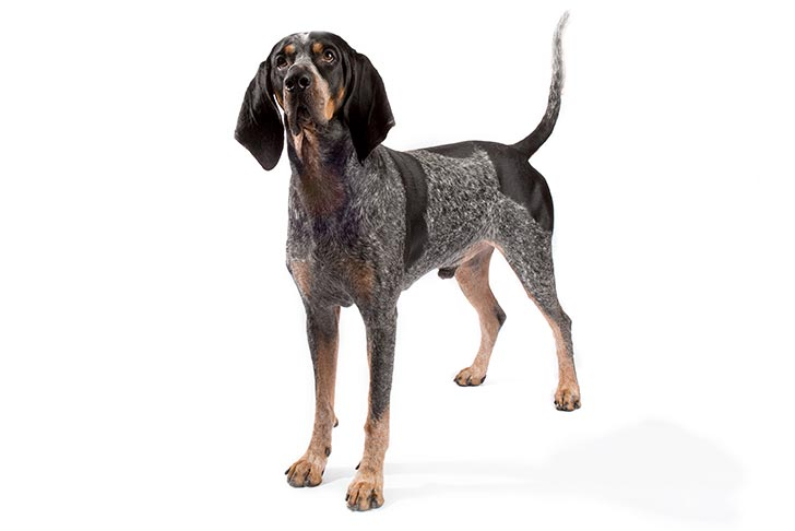 Bluetick Coonhound standing in three-quarter view