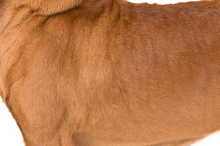 Bloodhound coat detail