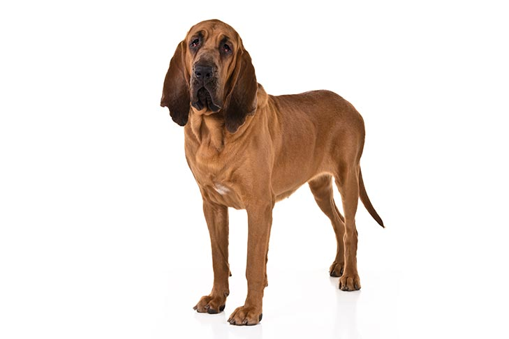Bloodhound standing in three-quarter view facing forward