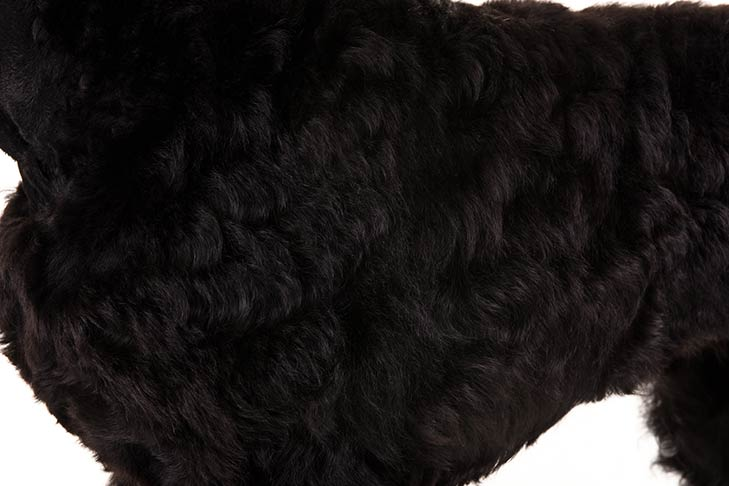 Black Russian Terrier coat detail