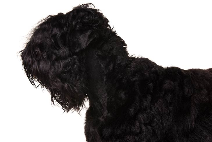 Black Russian Terrier head and shoulders facing left