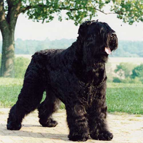 Black Russian Terrier Dog Breed Information Black Russian Terrier