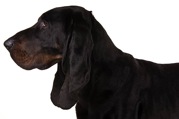 Black and Tan Coonhound head facing left