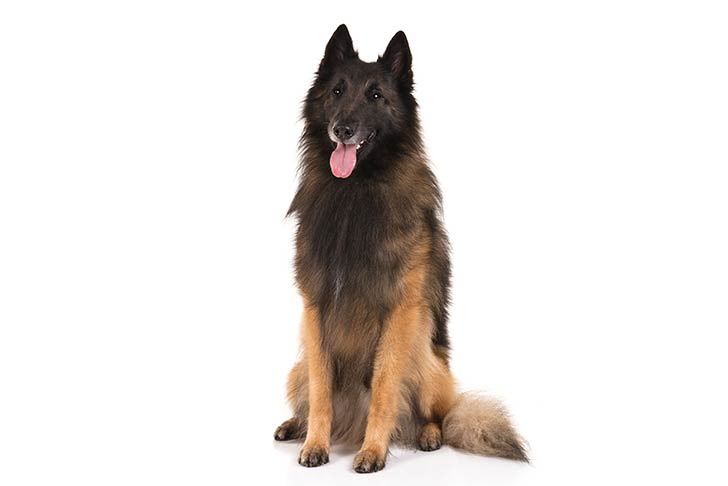 Belgian Tervuren sitting facing forward.