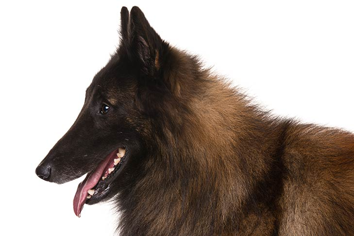 Belgian Tervuren head facing left.
