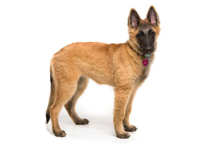 Belgian Tervuren puppy standing facing right, head turned forward.