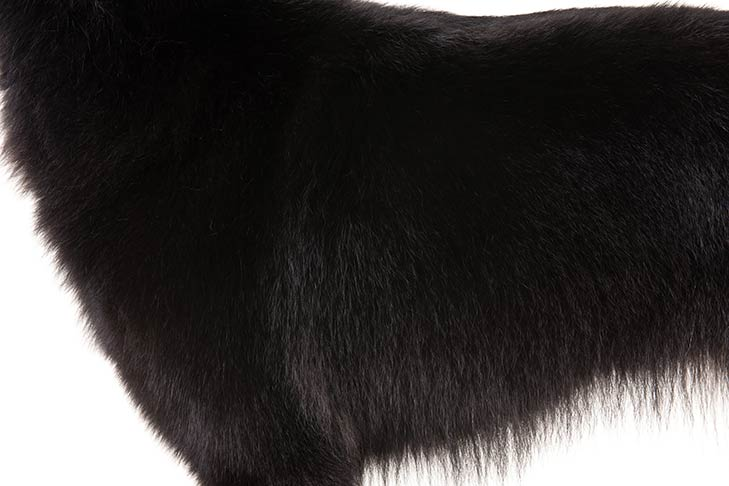 Belgian Sheepdog coat detail