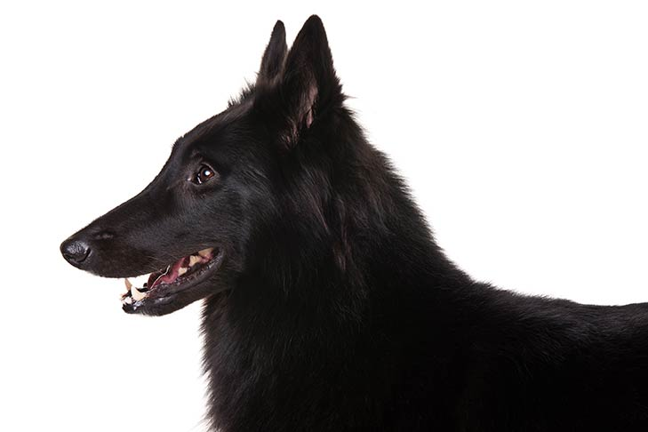 Belgian Sheepdog head facing left