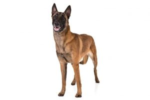 Belgian Malinois standing in three-quarter view.