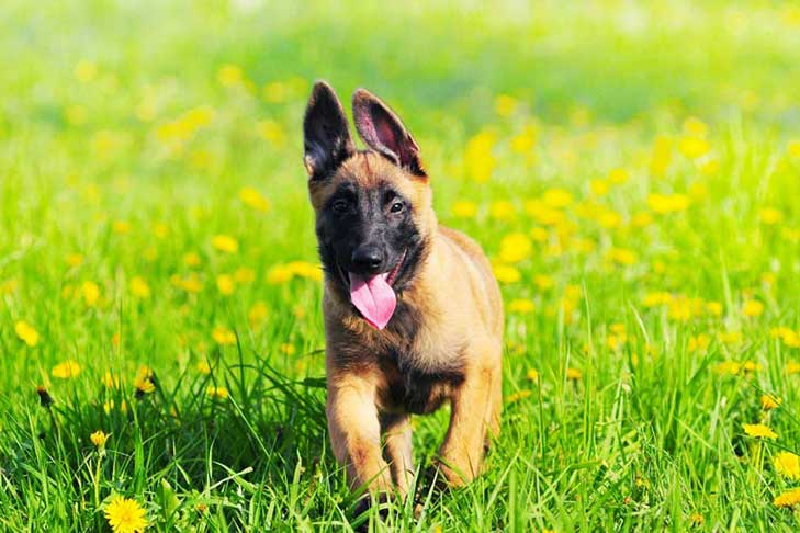 Belgian Malinois puppy running forward outdoors in a field of yellow wildflowers.