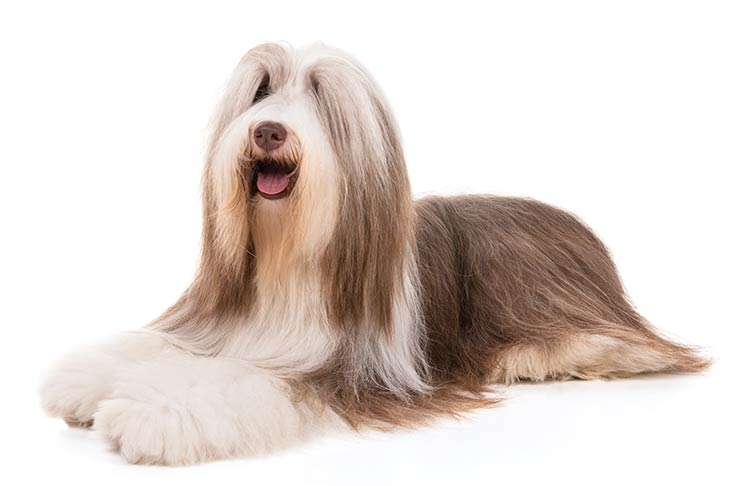 Bearded Collie lying down in three-quarter view