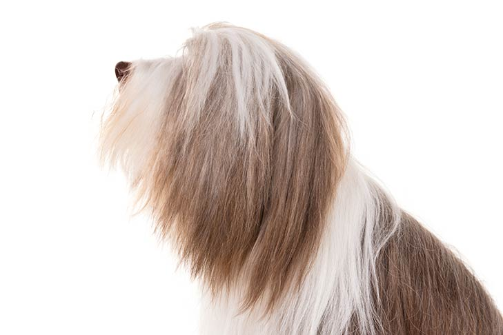 Bearded Collie head facing left