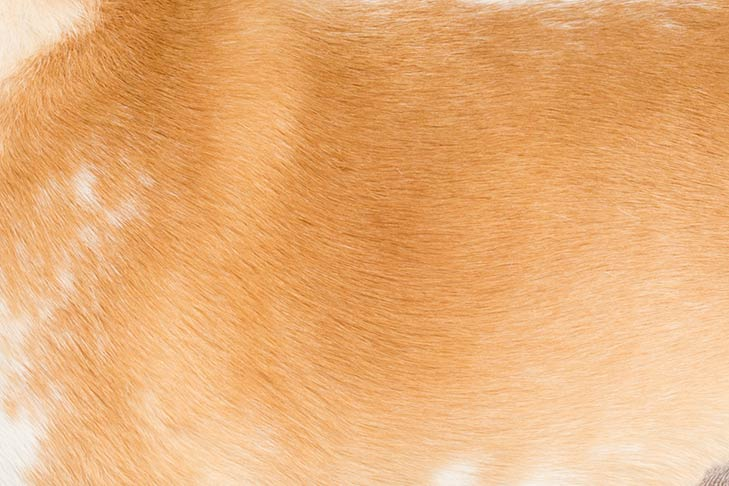 Beagle lemon and white colored coat detail