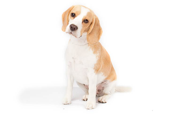 Beagle sitting in three-quarter view facing forward