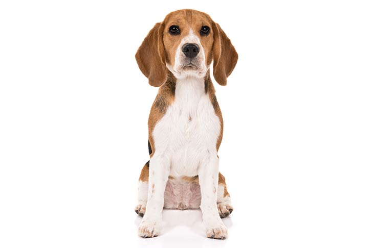 Beagle sitting facing forward