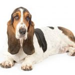 Basset Hound lying down facing forward in three-quarter view