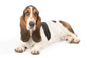 Basset Hound laying down in three-quarter view.