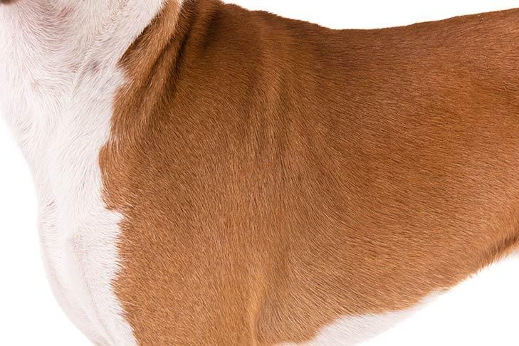 Basenji coat detail