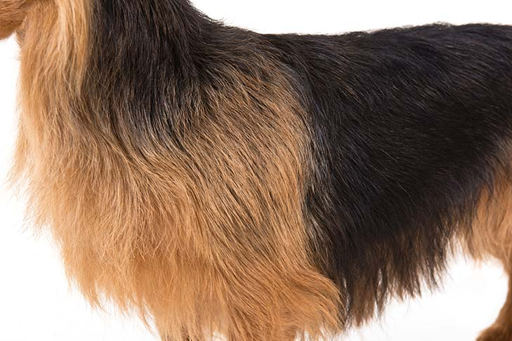 Australian Terrier coat detail