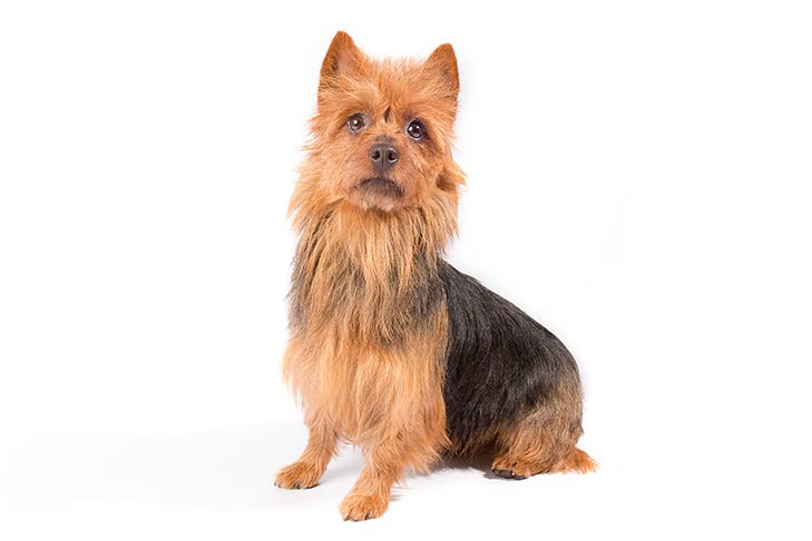 Australian Terrier sitting, three-quarter view