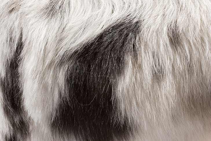Australian Shepherd black and white coat color detail