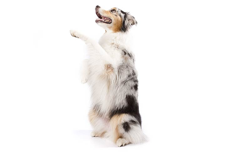 "Australian Shepherd on hind legs in ""begging"" stance"