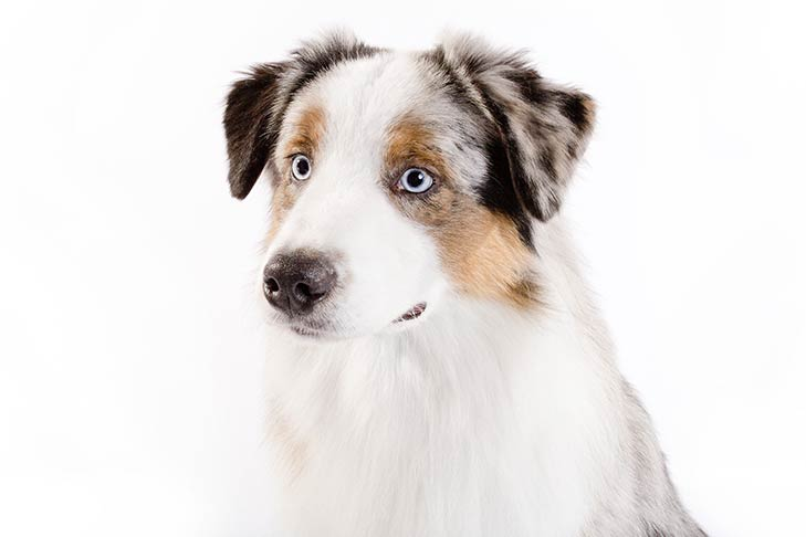 Australian Shepherd head, three-quarter view