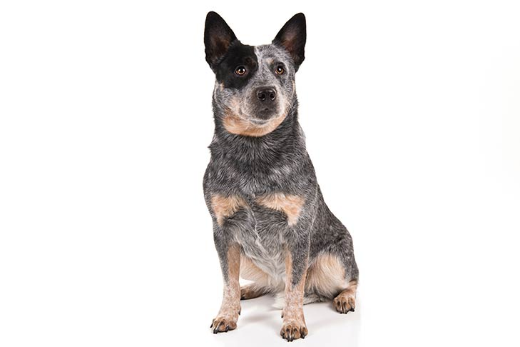 Australian Cattle Dog Dog Breed Information