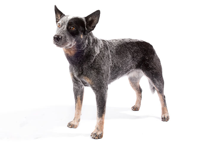 australian cattle dog trainers