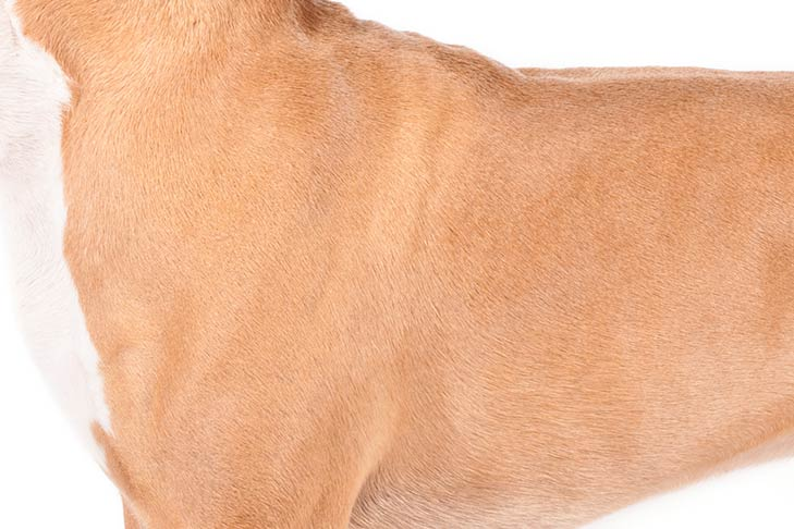 American Staffordshire Terrier coat detail.