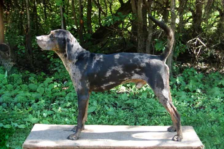 American Leopard Hound standing sideways. Wooded landscape in background.