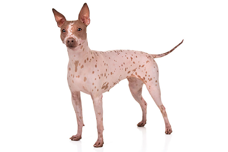 American Hairless Terrier standing sideways, facing forward