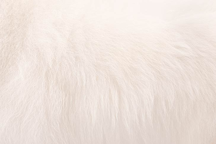 American Eskimo Dog coat detail