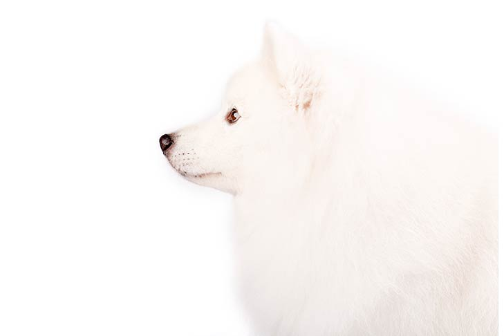 American Eskimo Dog head facing left