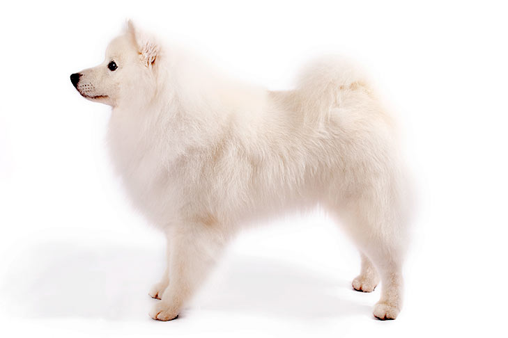 American Eskimo Dog standing sideways facing left