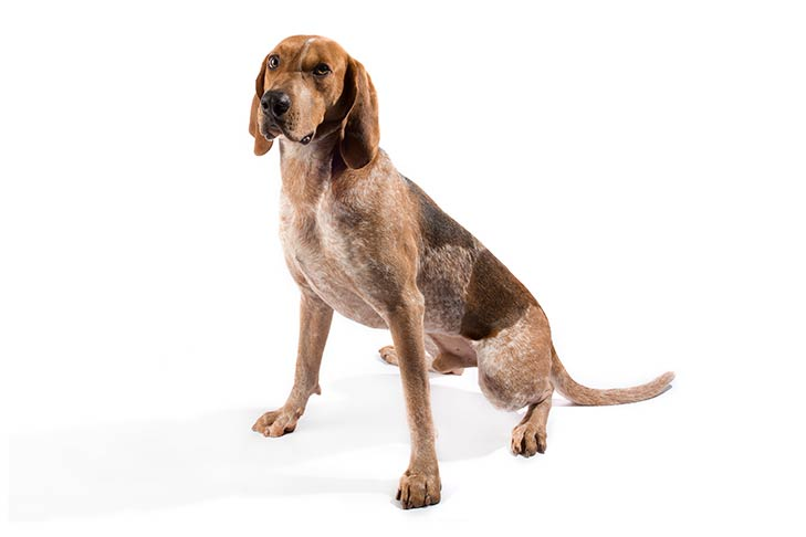 American English Coonhound sitting in three-quarter view