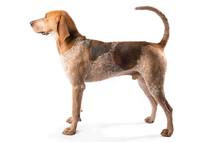American English Coonhound standing sideways facing left
