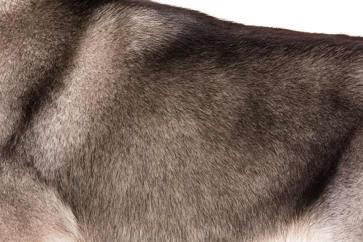 Alaskan Malamute coat detail