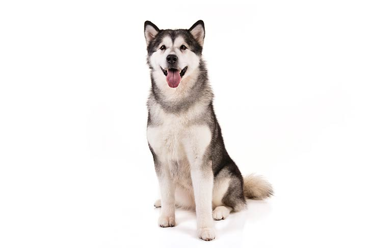 Alaskan Malamute sitting facing forward